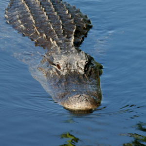 An alligator swims through a body of water
