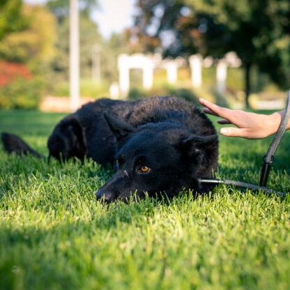 Astro the dog relaxes in the grass