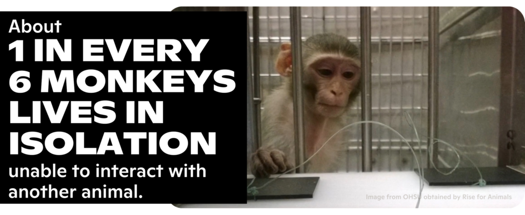 About 1 OUT OF EVERY 6 MONKEYS IS FORCED TO LIVE IN ISOLATION, unable to interact with another animal.